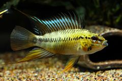 Apistogramma sp. D12 synonym: sp. Pacman. Captured in Rio Guaviare drainage, Colombia royalty free stock images