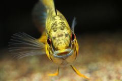 Apistogramma sp. D12 synonym: sp. Pacman. Captured in Rio Guaviare drainage, Colombia stock images