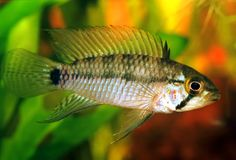 Apistogramma sp. emerald alenquer Royalty Free Stock Photography