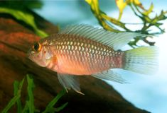 Apistogramma sp. Nanay Royalty Free Stock Photography