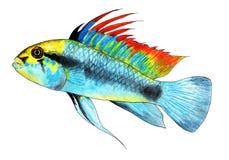 Apistogramma trifasciate 矮小的丽鱼科鱼 水族馆鱼,热带鱼 额嘴装饰飞行例证图象其纸部分燕子水彩 免版税库存照片