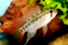 Apistogramma viejita Stock Photos