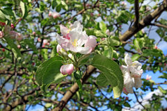aple δέντρα Στοκ εικόνα με δικαίωμα ελεύθερης χρήσης
