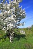 aple δέντρα Στοκ εικόνες με δικαίωμα ελεύθερης χρήσης