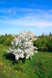 aple δέντρα Στοκ Εικόνα