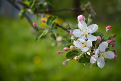 Aple blommor royaltyfria bilder