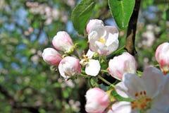 aple flowerses στα δέντρα Στοκ φωτογραφίες με δικαίωμα ελεύθερης χρήσης