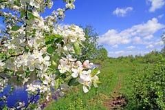 aple flowerses στα δέντρα Στοκ εικόνες με δικαίωμα ελεύθερης χρήσης