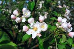 aple flowerses στα δέντρα Στοκ φωτογραφία με δικαίωμα ελεύθερης χρήσης