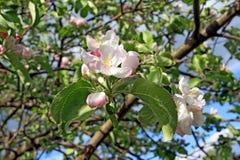 aple trees Royalty Free Stock Image
