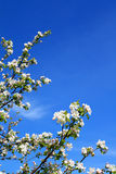 Aple trees Stock Image