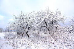 Aple trees in snow Royalty Free Stock Images