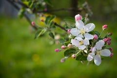 Aplebloemen Royalty-vrije Stock Afbeeldingen