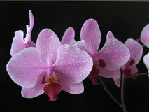Aplectrum flower. Aplectrum (Storczyk) orchidea on black background, morning dew Stock Photo