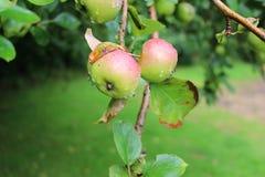 aples rain Fotografering för Bildbyråer