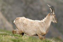 Apline ibex in the Alps. France Royalty Free Stock Photo
