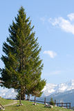 Aplins pine Stock Photo