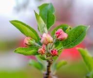 Aplle开花在果树园 免版税库存照片