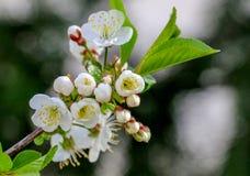 Aplle开花在果树园 免版税图库摄影