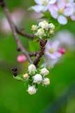 Aplle开花在果树园 图库摄影