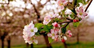 Aplle开花在果树园 库存图片