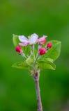 Aplle开花在果树园 库存照片