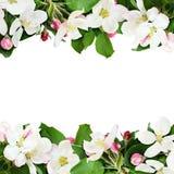 Aplle树开花并且发芽边界 免版税库存图片