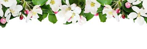 Aplle树开花并且发芽边界 图库摄影