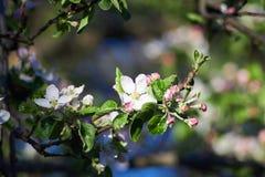 Aplle树花在春天 免版税库存图片