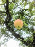 aplle στο δέντρο Στοκ φωτογραφία με δικαίωμα ελεύθερης χρήσης
