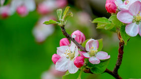 Aplle blossom in an orchard Stock Images
