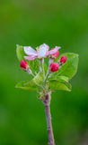 Aplle blossom in an orchard Stock Photo