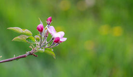 Aplle blossom in an orchard Royalty Free Stock Photo