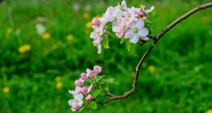 Aplle blossom in an orchard Royalty Free Stock Photos