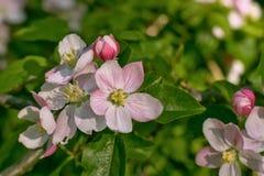 Aple tree blossoms, selective dof  (Malus domestica) Stock Photo