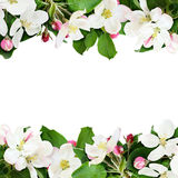 Aplle tree flowers and buds borders. Isolated on white Royalty Free Stock Images