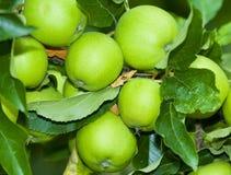 aplles πράσινο δέντρο Στοκ εικόνες με δικαίωμα ελεύθερης χρήσης