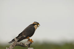 Aplomado Falcon Royalty Free Stock Photo