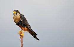 Aplomado Falcon Royalty Free Stock Photography