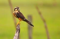 Aplomado Falcon Royalty Free Stock Photos