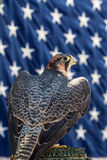 Aplomado Falcon Royalty Free Stock Photo