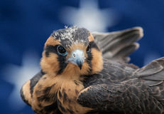 Aplomado Falcon Royalty Free Stock Images