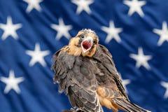 Aplomado Falcon Royalty Free Stock Image