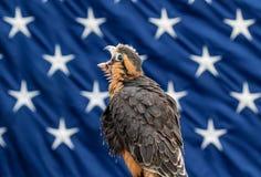 Aplomado Falcon Royalty Free Stock Images