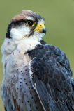 Aplomado Falcon Stock Photo