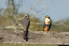 Aplomado Falcon Pair Royalty Free Stock Image