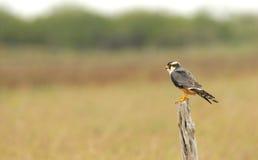 Aplomado falcon stock image