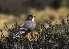 Aplomadovalk, Aplomado Falcon, Falco femoralis stock photos