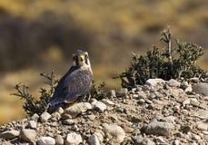 Aplomadovalk, Aplomado Falcon, Falco femoralis royalty free stock images