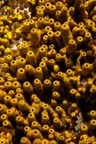 Aplysina aerophoba黄色管海绵、特写镜头、几何形状和样式 库存照片